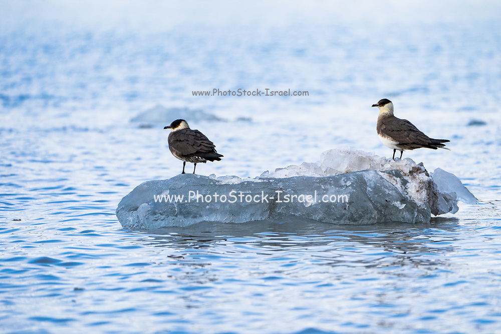 Arctic skua, Arctic jaeger or parasitic skua (Stercorarius parasiticus) on ice floe Photographed in Svalbard Spitsbergen, Norway in July