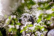"""English Setter """"Rudy"""" am 24.04. 2018 zwischen Apfelblüten im Garten. Rudy wurde Anfang Januar 2017 geboren und ist vor einiger Zeit zu seiner neuen Familie umgezogen."""