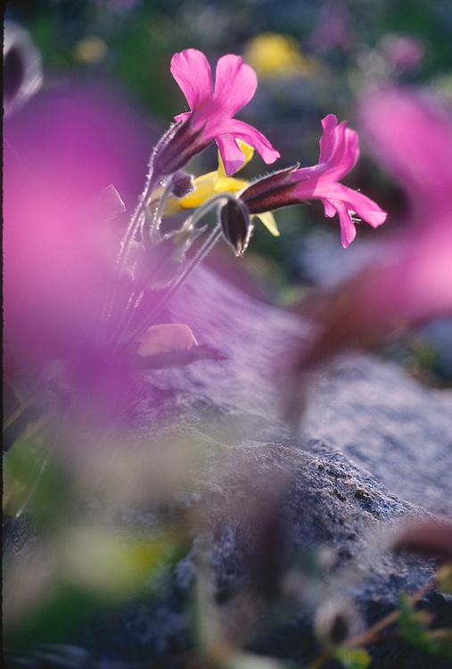 Pink monkeyflowers (Mimulus lewisii), Olympic National Park, Washington, USA