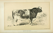 Shorthorn bull from Cattle and dairy farming. Published 1887 by Govt. Print. Off. in Washington. United States. Bureau of Foreign Commerce (1854-1903)