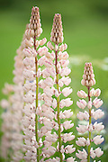 Lupin Flowers, Lupinus polyphyllus, nr Rautalampi, Kuopio, Finland, lupines, close up of white flowers
