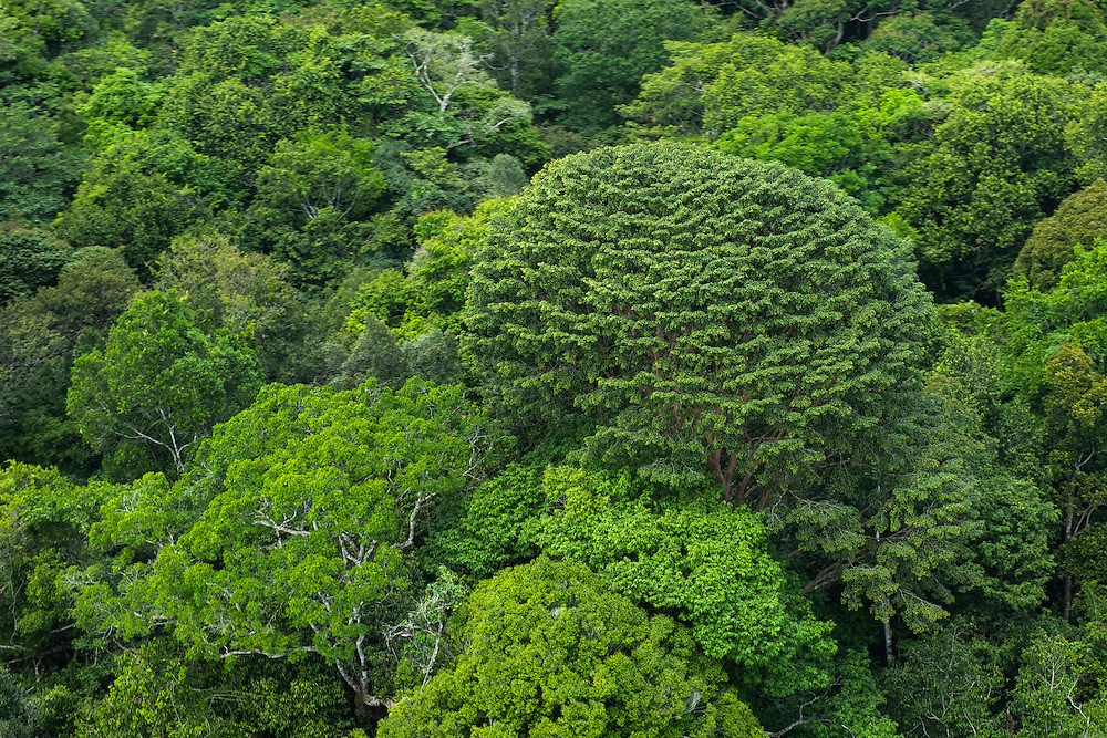 Rainforest Canopy<br /> Rupununi<br /> GUYANA<br /> South America