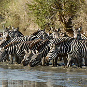 Burchells Zebra (Equus burchelli) Herd drinking from river. Durring migration in Serengeti National Park, more than 200,000 zebras migrate along side one million wildebeest and 300,000 Thomson's gazelles. Tanzania. Africa. February..Burchell?s Zebra (Equus burchelli) Herd drinking from river. Durring migration in Serengeti National Park, more than 200,000 zebras migrate along side one million wildebeest and 300,000 Thomson's gazelles. Tanzania. Africa. February.