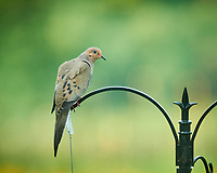 Mourning Dove. Image taken with a NikonD850 camera and 200 mm f/2 VR lens