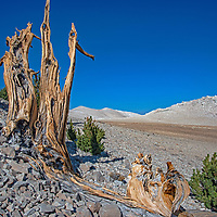 Ancient Bristlecone pine trees grow high in California's White Mountains, near the highest Native American settlement in the USA. Some of these trees have lived more than 4,000 years and were alive when people hunted these slopes around AD 750.