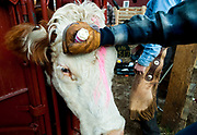 PRICE CHAMBERS / NEWS&GUIDE<br /> Female cows who are not pregnant get a mark on their head to keep them identifiable.