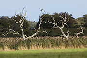 Osprey (Pandion haliaetus). Arne, Dorset, UK.