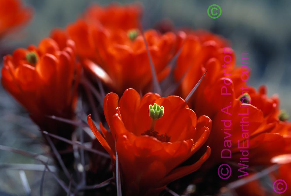 Claret cup cactus blossoms, close selective focus, White Sands National Monument, New Mexico, © David A. Ponton