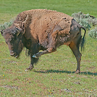 An American Bison (Bison bison) scratches himself in  Yellowstone National Park, Wyoming.