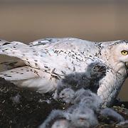 Snowy Owl (Bubo scandiacus) adult feeding a bird to its chicks. Barrow, Alaska