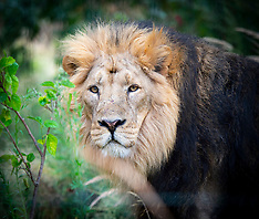 ZSL London Zoo World Lion Day 7th August 2019