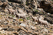 Bighorn sheep (Ovis canadensis). Dawson Pass hike, in Glacier National Park, Montana, USA. Since 1932, Canada and USA have shared Waterton-Glacier International Peace Park, which UNESCO declared a World Heritage Site (1995) containing two Biosphere Reserves (1976).