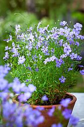 Silene oculata 'Blue Angel' - Rose of Heaven - in a terracotta pot