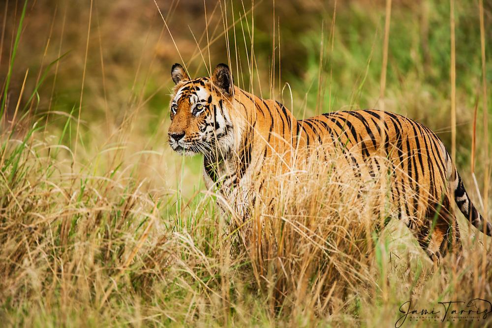 Bengal tiger (Panthera tigris tigris) in the wild standing , April, dry season;