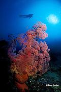 soft coral, Dendronephthya sp., Alamanda Bay, Bali, Indonesia MR 270