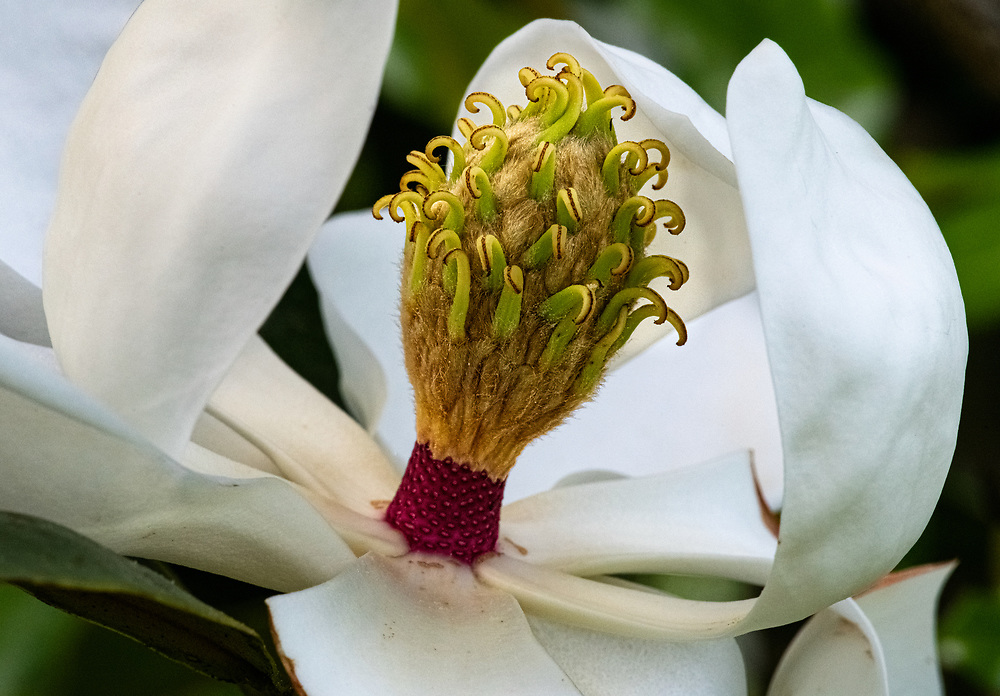 Magnolia Surprise