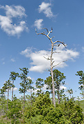 """A tall pine tree once struck by lightning is filled with what is called """"lighter pine,"""" a favorite fire-starter for survivalists and campers."""