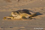 Australian flatback sea turtle, Natator depressus, female crawling back down nesting beach toward ocean after nesting, Crab Island, off Cape York Peninsula, Torres Strait, Queensland, Australia
