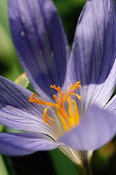 Herfstkrokus, Crocus speciosis, autumn flowering crocus