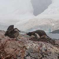 A gentoo Penguin defends its nest from a  predatory Brown Skua at a rookery on Cuverville Island, Antarctica.