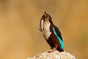 White-throated Kingfisher (Halcyon smyrnensis) with a lizard in its beak, Negev, Israel