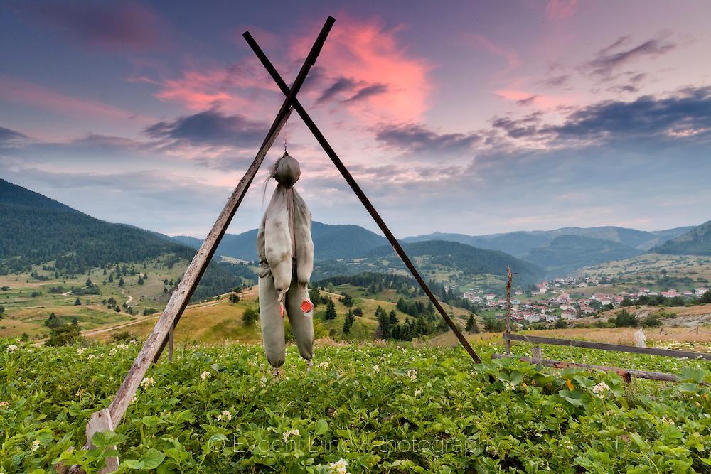 Scarecrow in the potato garden
