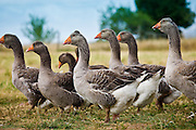 Flock of grey geese used for Foie Gras near Sarlat, Perigord region, Dordogne, France
