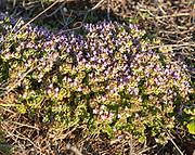 Camphor thyme, Thymus camphoratus, Portuguese coastal endemic plant species close up