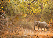 African Elephants seen on the Luangwa River valley; Zambia, Africa
