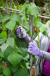 Harvesting French beans - Phaseolus vulgaris