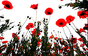 Acres of red Poppies in Memphis, Tennessee.