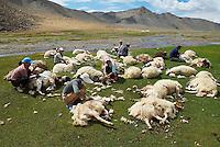 Mongolie. Province de Khovd. Tonte des moutons. // Mongolia. Khovd province. Shearing sheep.