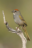 Green-tailed Towhee - Pipilo chlorurus - adult