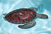 """juvenile green sea turtle, Chelonia mydas, with """"living tag"""" - white spot transplanted from under-shell ( plastron ) to upper-shell ( carapace ) grows with turtle, Xcaret, Mexico"""