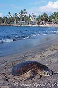 juvenile green sea turtle, Chelonia mydas, basking on beach at Kahuwai Bay, ( Kona Village Resort in background), Kona, Hawaii ( the Big Island ), USA ( Central Pacific Ocean )