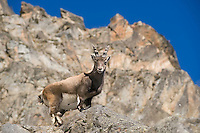 16.11.2008.Alpine Ibex (Capra ibex).Gran Paradiso National Park, Italy