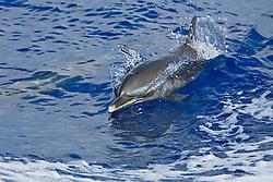 Pantropical Spotted Dolphin, Stenella attenuata, wake-riding, off Kona Coast, Big Island, Hawaii, Pacific Ocean.