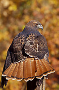 Red tailed hawk, Buteo jamaicensis,  head portrait, bird of prey, hunts mammals by kiting or from perch, often seen perched by roadside forest woods