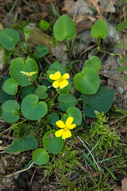 Almost anywhere you look in the Pacific Northwest's wild places in spring and summer you will usually find violets. These yellow stream violets were growing alongside a trail next to Deep Lake near Enumclaw, Washington.