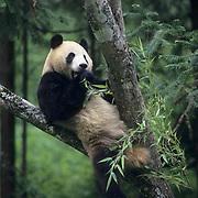 Giant Panda, (Ailuropoda melanoleuca) In tree  eating bamboo. Wolong Natural Reserve. Sichuan,China. Captive Animal.