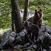 Wild Bears in Slovenia