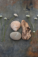 Still Life Photography. Buckwheat Flower with fossil and driftwood.