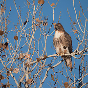 Red-tailed hawk, Bosque Del Apache, NWF. New Mexico.