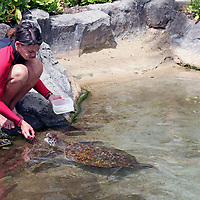 """Staff of """"Dophin Quest"""" feeds threatened Green Sea Turtle as part of encounter for children to learn about marine wildlife."""