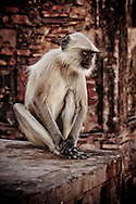 Hanuman Langur, Ranthambore National Park, India
