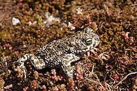 Natterjack Toad (Bufo calamita).Sierra de Andújar Natural Park, Mediterranean woodland of Sierra Morena, north east Jaén Province, Andalusia. SPAIN.RANGE: west & central Europe to Russia & UK & Ireland...Mission: Iberian Lynx, May 2009