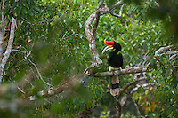 Rhinoceros Hornbill (Buceros rhinoceros) adult male.  Perched in the canopy of the Borneo rain forest.