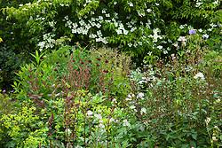 Corner of a summer border at Glebe Cottage. Cornus 'Norman Hadden', Astilbe 'Fanal', Knautia macedonica, Astrantia major, Rosa 'Little White Pet', Alchemilla mollis, Fuchsia magellanica 'Versicolor' and Athyrium filix-femina