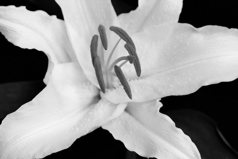 White Lilly macro monochrome
