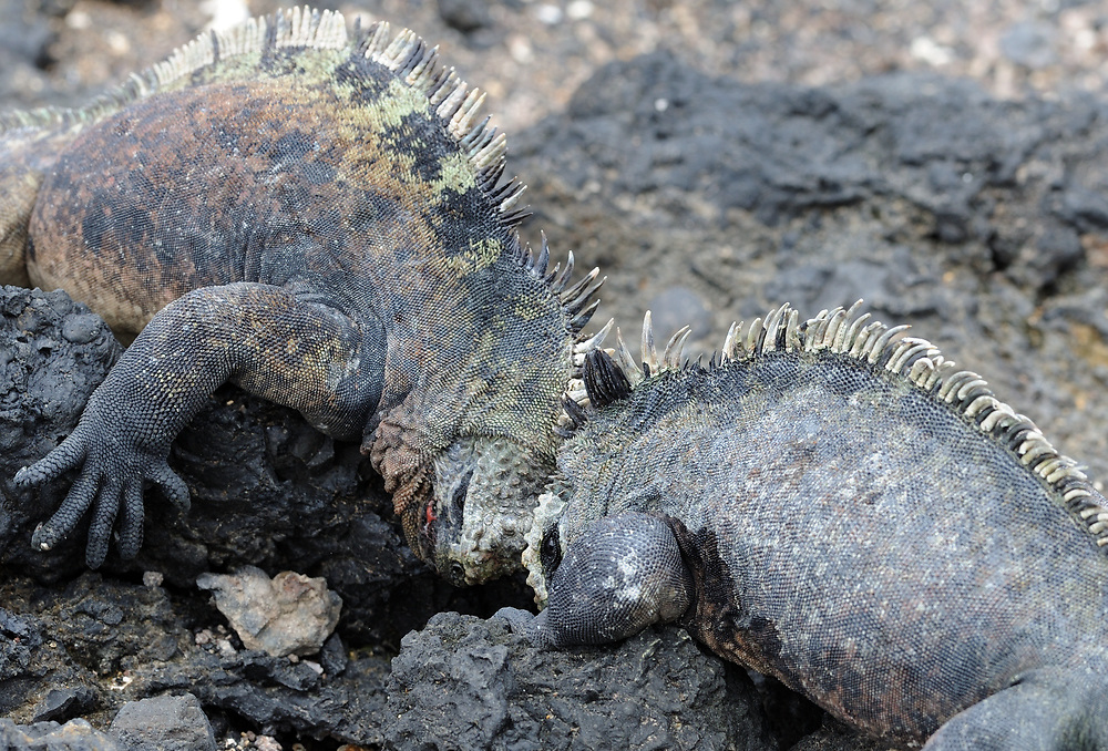 Two big male iguana or Galápagos marine iguana (Amblyrhynchus cristatus cristatus) push against each others heads to assert dominance. This subspecies is endemic to Isabela and Fernandina Islands. Las Tintoreras, Puerto Villamil, Isabela, Galapagos, Ecuador